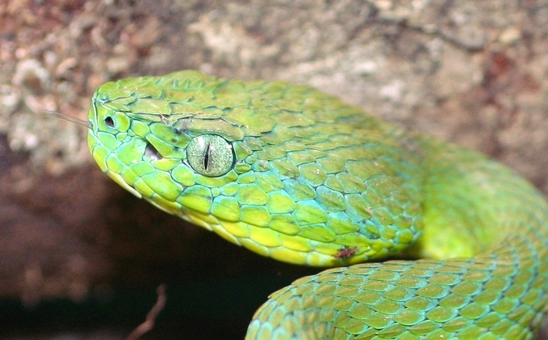 Identify the venomous snakes